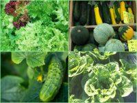 農家が選ぶ! 本当に育てたい春夏野菜品種【キュウリ・レタス・ズッキーニ他編】