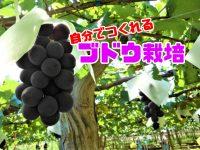 家庭でつくるブドウ栽培! 巨峰やシャインマスカットを自分で育てちゃおう!【前編】
