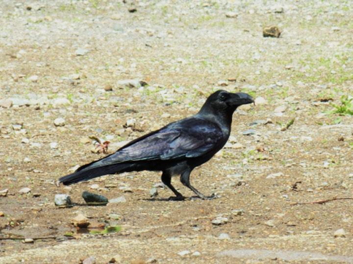 鳥類の農作物被害額1位! カラスの対策方法Q&A
