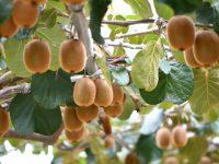 初心者でも簡単に栽培できるフルーツNo.1! キウイの育て方