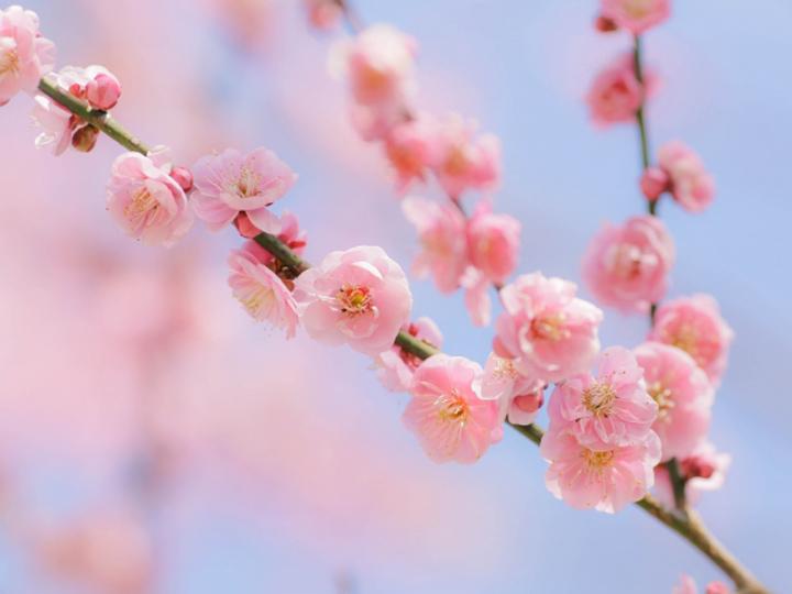 梅(ウメ)をかっこよく剪定して花と果実を楽しむ育て方 鉢植えでもできる栽培方法とは?