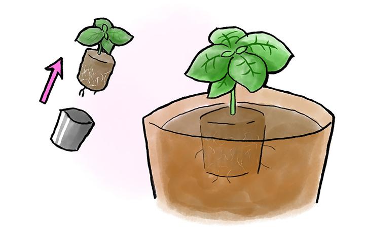 バジルの植え付け