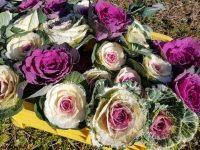 黒松・南天・葉ボタン 正月3点セットで、年末商戦に「花」を添えよう
