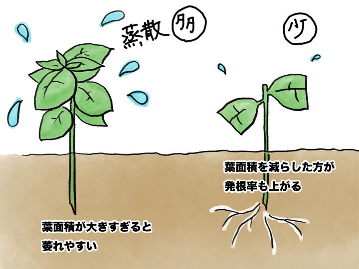 バジルの挿し木のポイント