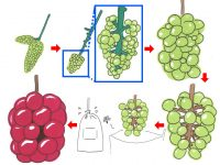 家庭でつくるブドウ栽培! 巨峰やシャインマスカットを自分で育てちゃおう!【後編】