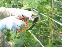 果菜類・果物の収穫に役立つ! おすすめ収穫用はさみ6選