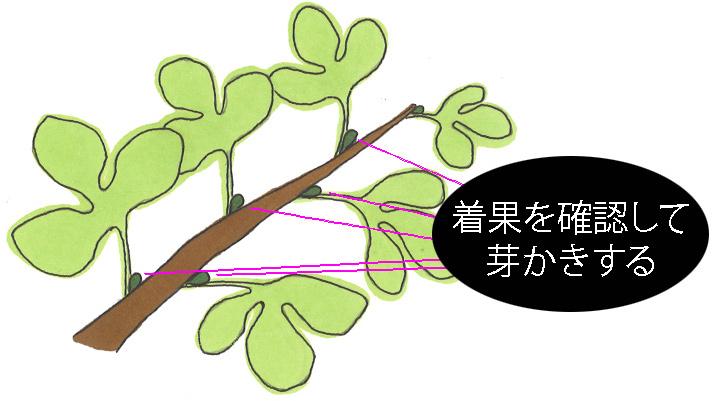 イチジク栽培