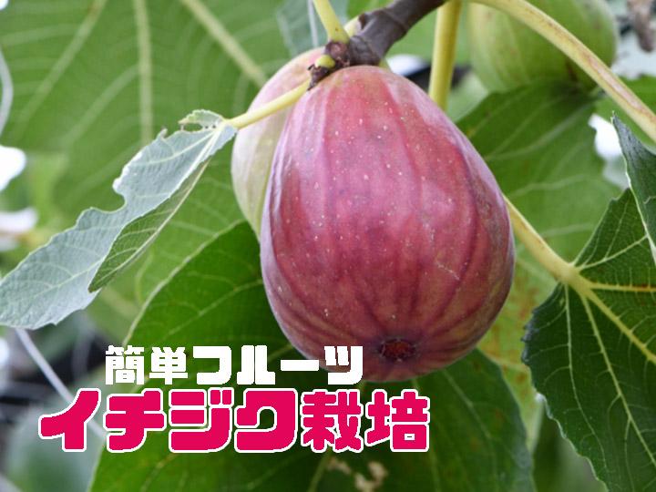 家庭でも手軽に栽培できる! 簡単フルーツ・イチジクの育て方