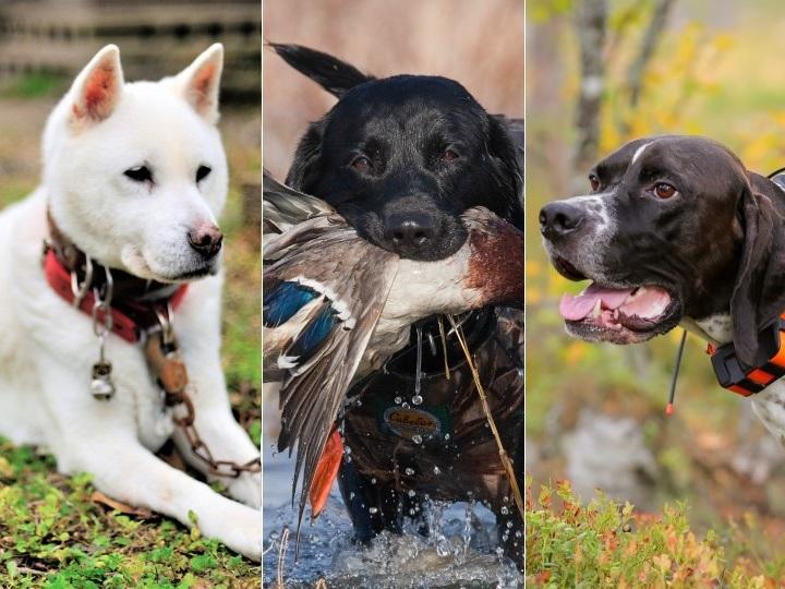 狩猟犬はどうやって飼うの? 犬種の選び方や訓練は?