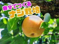 幸水も豊水も家庭で簡単に栽培できる!? 農家が教える梨(ナシ)の育て方