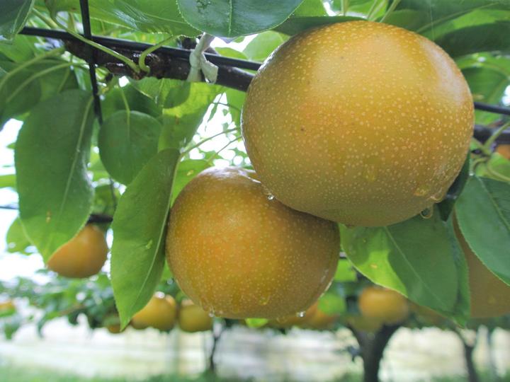震災を乗り越え、再び梨の名産地に おいしさの裏にある、生産者たちの情熱