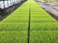 育苗時の発芽のばらつき・徒長を無くして収量アップ! 水稲農家が愛用する新機能性肥料の実力とは?