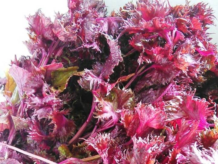 農家が教えるシソの栽培方法 家庭菜園におすすめ! シソを食べ尽くすための育て方とは