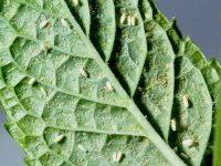 野菜の葉裏に寄生する白い虫、コナジラミの特徴と対策【畑は小さな大自然vol.70】