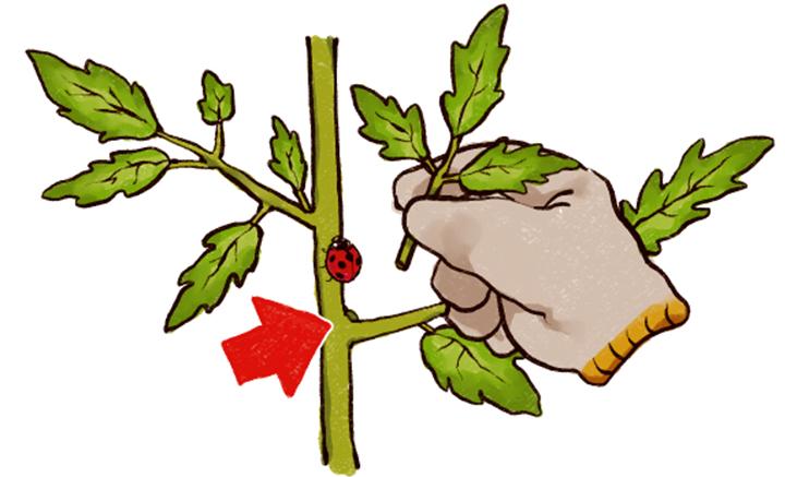 大玉トマトの育て方