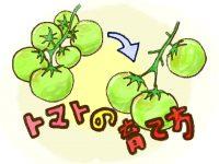 家庭菜園初心者も必見! 大玉トマトの育て方 プランター栽培方法も