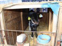 多くの牛と触れ合う貴重な経験をしませんか?