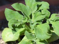 """農家が教えるアイスプラントの栽培方法 意外と育てやすい""""珍野菜""""の育て方"""