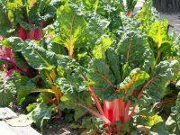 農家が教えるスイスチャード(フダンソウ)の栽培方法 家庭菜園にも最適なカラフル野菜の育て方