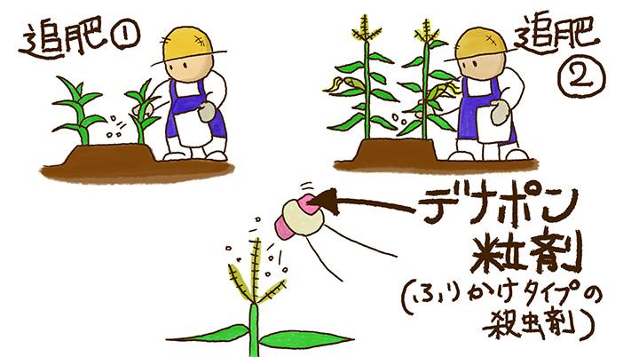 トウモロコシの育て方
