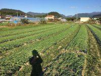 就農1年目でニンニク2万個植えて感じた4つのこと
