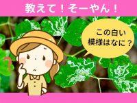 野菜の葉に白い線! ハモグリバエの対策とは【畑は小さな大自然vol.74】