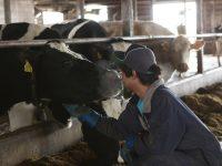 日本一の酪農地帯で、非農家でも新規就農への道が開くインターンシップ