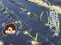 漫画「跡取りまごの百姓日記」【第52話】ニンニク用のマルチ穴あけ機