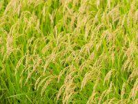 30年以上⽶作りをしてきた『清耕園ファーム』が期待する農薬