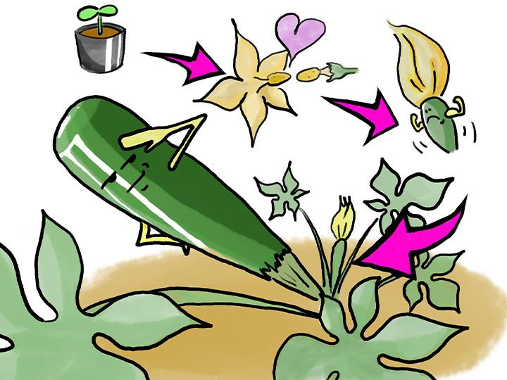 農家が教えるズッキーニの育て方 初心者も簡単! 支柱立てと栽培方法のコツ