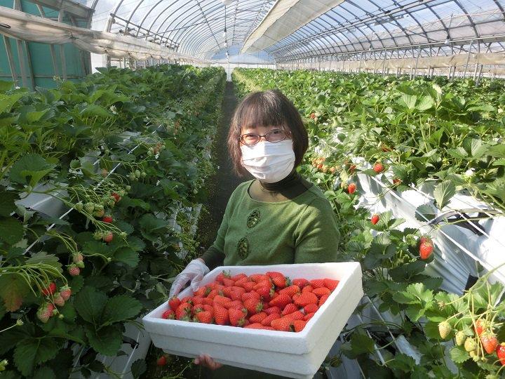 新型コロナウイルス感染拡大 客足遠のく観光イチゴ農園がとった対策とは