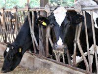 【生産者に聞く】酪農・畜産に打撃か 新型コロナウイルスによる影響とは
