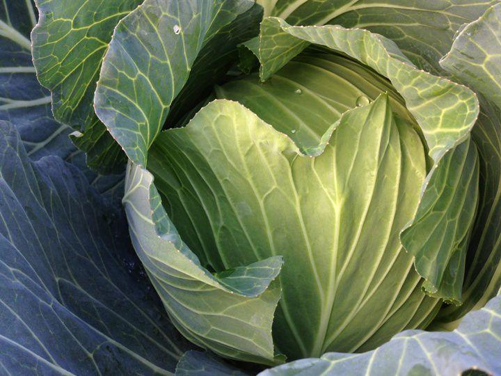 キャベツの栽培方法 ずっしり重たい!よく詰まったおいしいキャベツを育てる方法