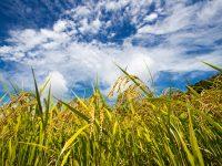 天候変化に対応しながら大粒増収! 「登熟期の光合成能力を高める」方法とは?
