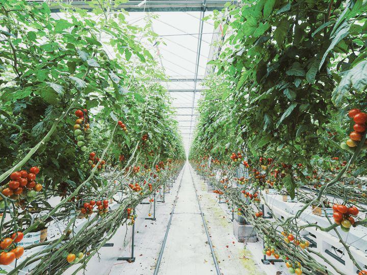 【インターンシップ募集中】目標は攻める農業。ほぼ全員が未経験!最先端設備のトマト園に潜入!
