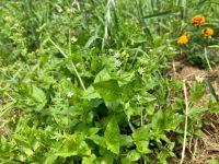 良い畑には可愛い花が咲く雑草が増える?【畑は小さな大自然vol.81】