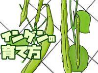 農家が教えるインゲンの育て方 実がならない原因は「肥料の効き過ぎ」?