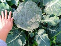 農家が教えるブロッコリーの栽培方法 ビッグサイズの一発取りから小ぶりの長期取りまで上手に育てるには?