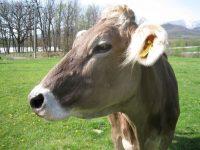 「放牧」は低コストな酪農システム ポイントは「収入」より「支出」