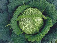 シェフご用達の高級野菜、サボイキャベツ栽培でその魅力を食卓に!