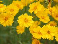 最高で1億円の罰金?! 禁じられた花、特定外来生物の「オオキンケイギク」とは
