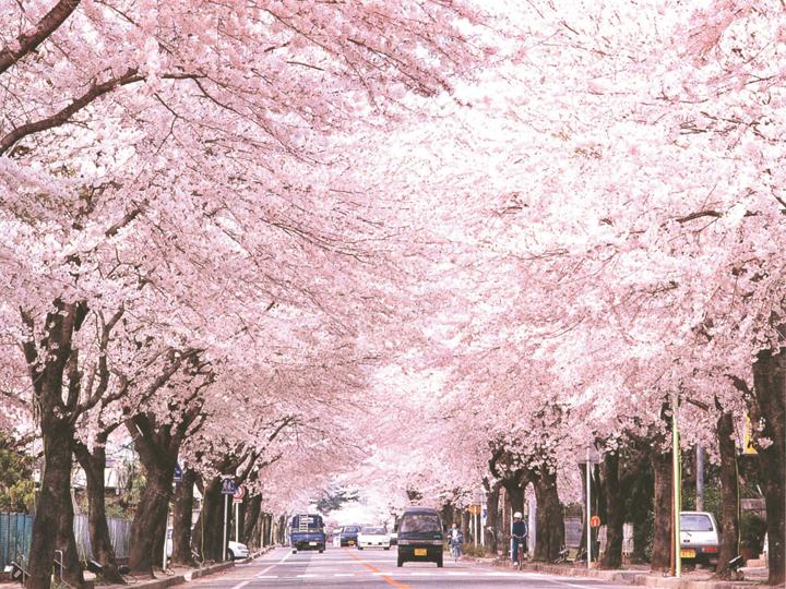 福島県富岡町のシンボル「桜のトンネル」