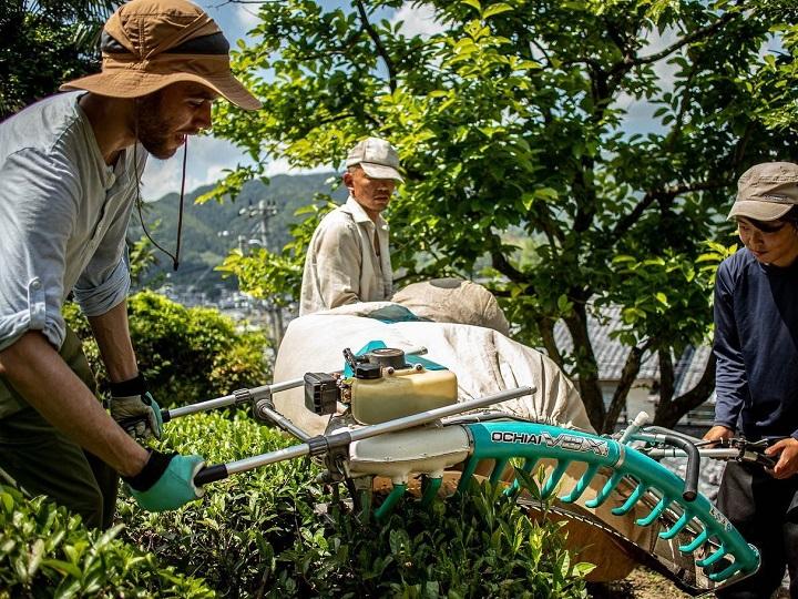 おぶぶ茶苑で茶葉の刈り込み作業をしているインターン生