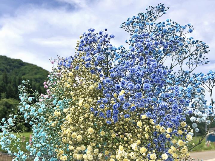 青空の下で鮮やかな色が映えるカスミソウ