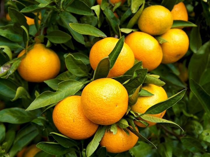 人工知能(AI)で糖度を予測、温州ミカンの栽培管理に役立てる