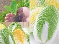 【プロに聞く】ハクサイの栽培方法とおすすめ品種は? よくある失敗対策も