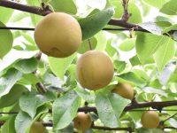 梨とキウイフルーツの収穫体験! 高級品種の栽培技術も学べる相馬市の農業インターンシップがオススメのワケ
