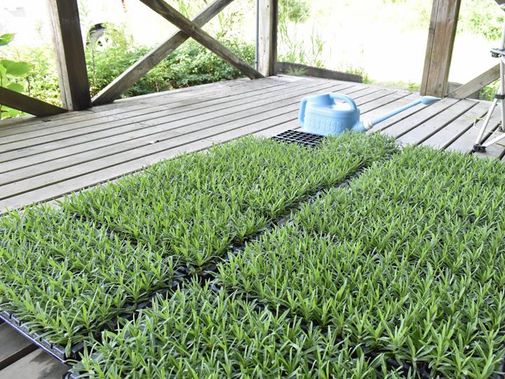 定植を待つカスミソウの苗