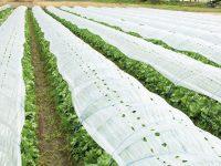 【プロに聞く】レタスの栽培方法とおすすめ品種 マルチ活用のコツは?