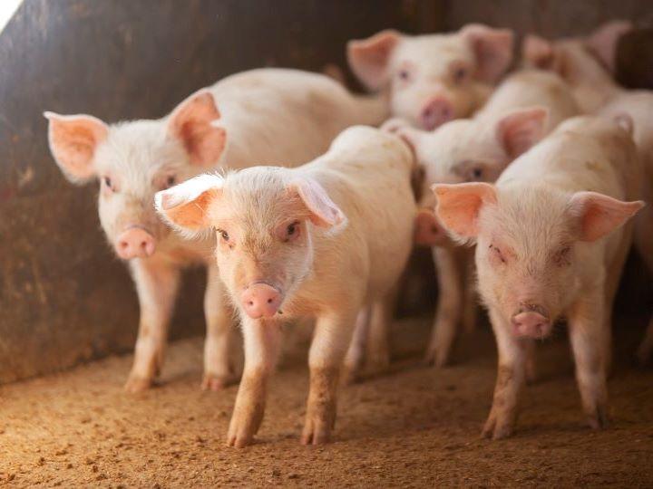 豚の種類・品種はいくつ? 品種改良を続ける理由やメリットについても解説